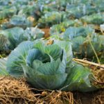 Cabbage and Kohlrabi Salad
